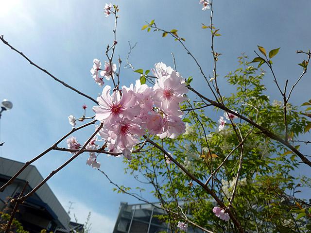 sakura-kohigan01.jpg